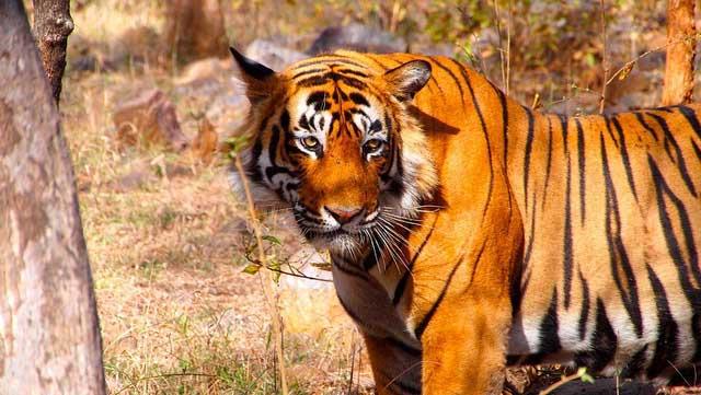 Kanha Tiger park In India